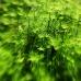 Green Rush.jpg